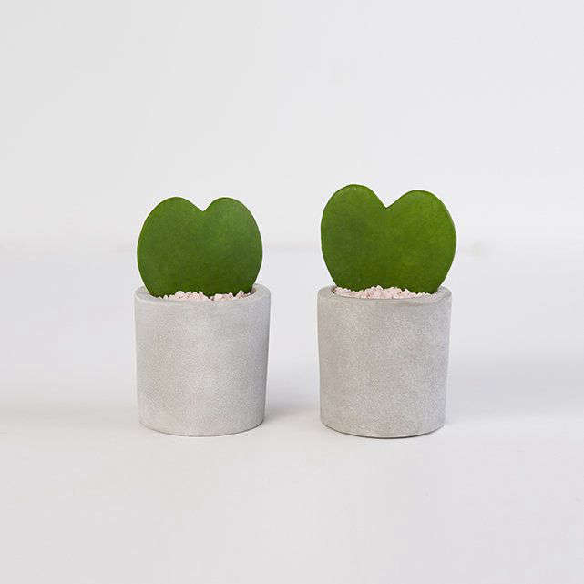 Show how strong your devotion is with a pair of Hoya Hearts that endure even with neglect; $55 at The Bouqs Company.