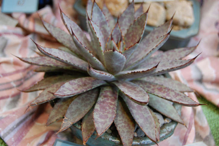 Mangave &#8\2\16;Bloodspot&#8\2\17; is the result of marrying Agave macroacantha with Manfreda maculosa. Photograph by FarOutFlora via Flickr.