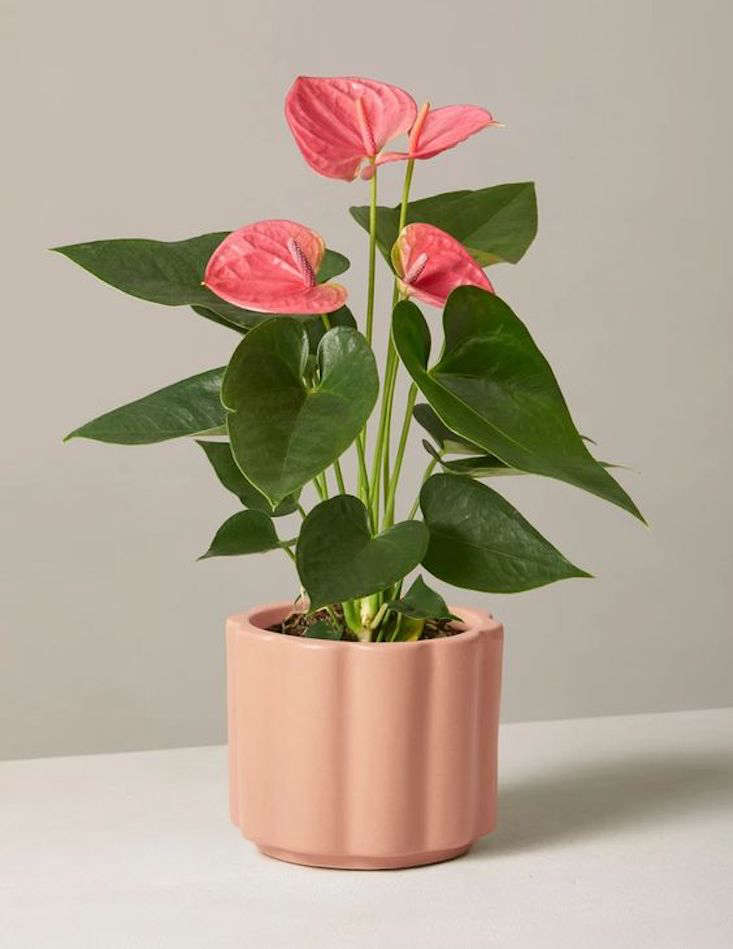 The Pink Anthurium has both phallic and feminine properties; $68 at The Sill.