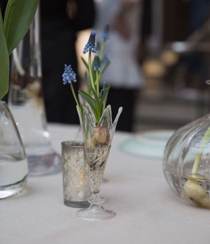 A grape hyacinth bulb (Muscari) growing very happily in its temporary home at a formal dinner. Photograph by Thomas Alexander.