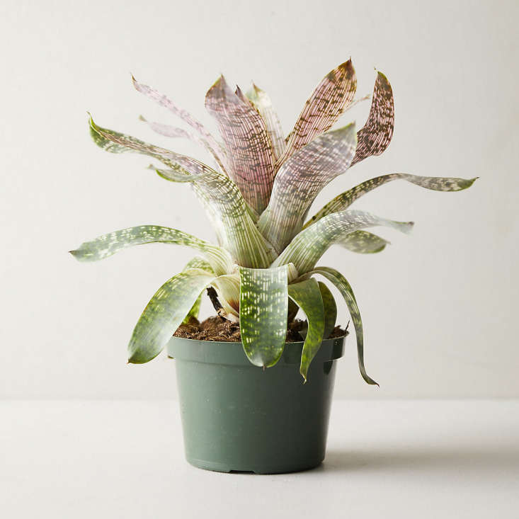For a dramatic display of love, try this gorgeous Vriesea Nova Plant; $5