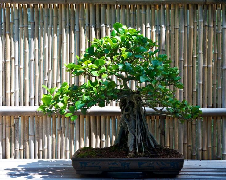 A Ficus triangularis grown as a bonsai. Photograph by Timothy Valentine via Flickr.