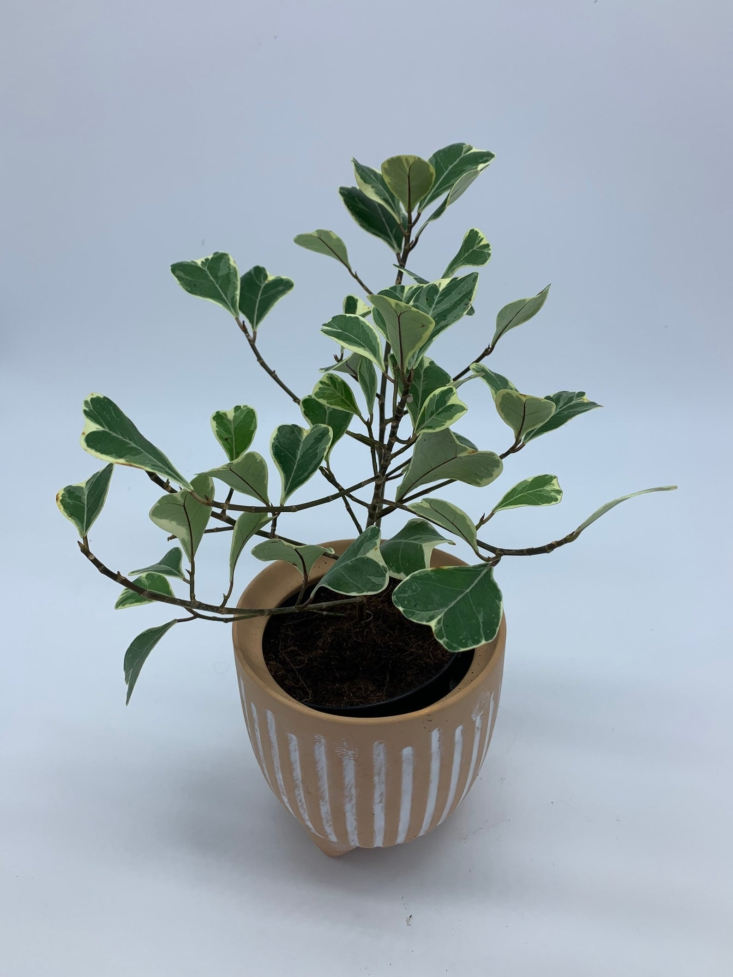 A Ficus triangularis in a 4-inch pot is \$45 from Houseplantslovers on Etsy.