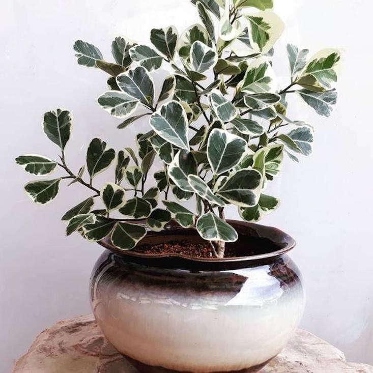 Photograph of a Ficus triangularis &#8\2\16;Variegata&#8\2\17; via myBageecha.