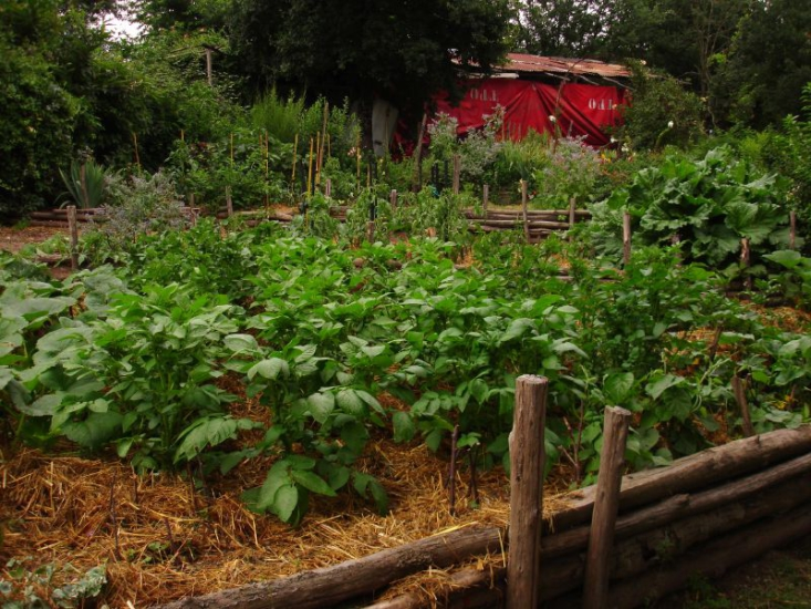 Potatoes growing in a hugelkultur bed, topped with a layer of straw mulch. Photograph by hardworkinghippy via Flickr.