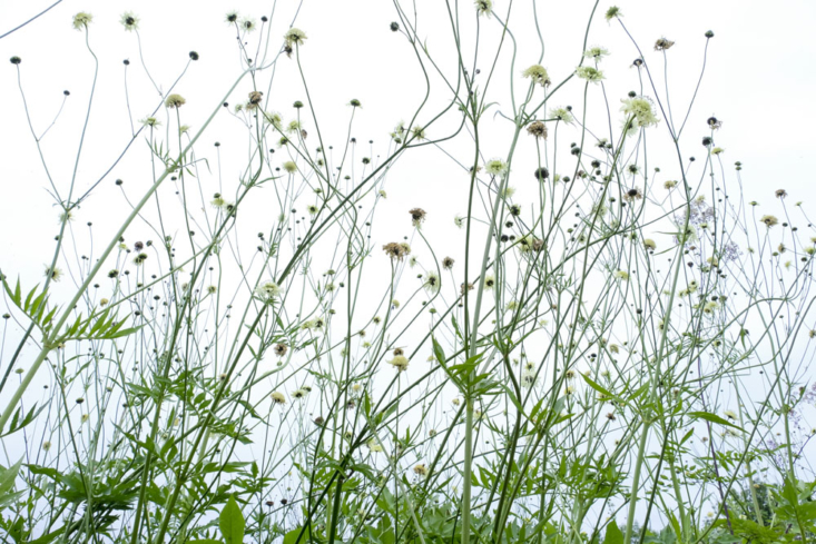 : Cephalaria gigantea, well known in western gardens, lives up to its name here, growing to at least  feet in one season. &#8