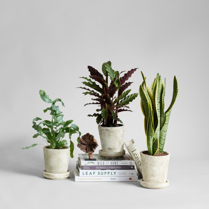 There are currently six types of houseplants in the collection, among them a Phlebodium Blue Star, a Calathea Wavestar, and a snake plant. Each is $88.