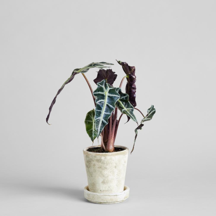 Each houseplant (pictured is Alocasia amazonica) comes with its own hand-thrown whitewashed terracotta pot and saucer. The pot is about 5- by 5-inches. &#8