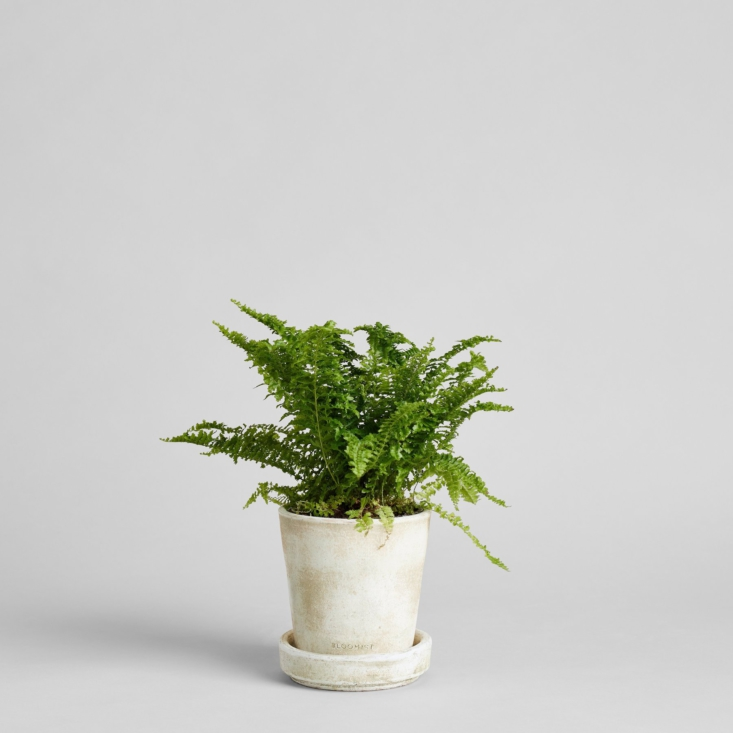 Every live houseplant ships directly from the grower and comes with a care card. Pictured here is a Boston fern.