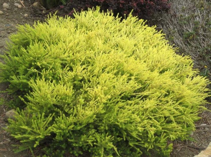 Coleonema pulchellum &#8\2\16;Sunset Gold&#8\2\17; is \$\16 for a 5-gallon pot at Ricardo&#8\2\17;s Nursery.