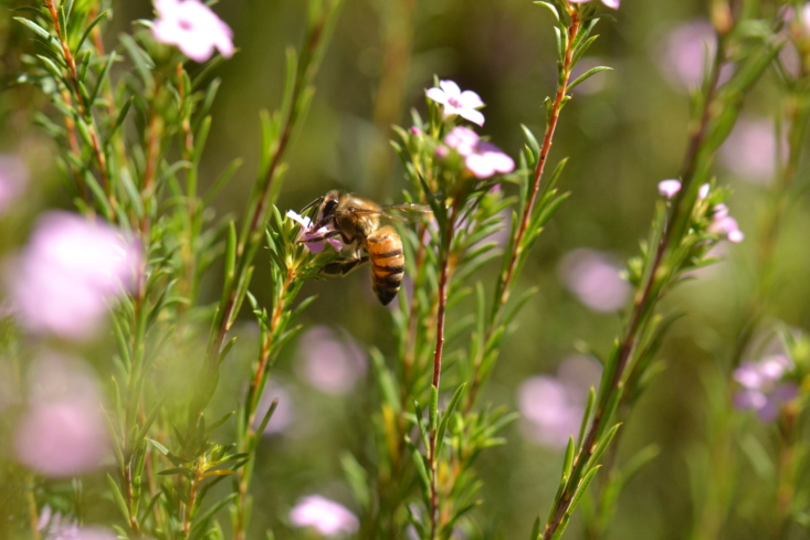 The shrub attracts bees. Photograph by Tracie Hall via Flickr.