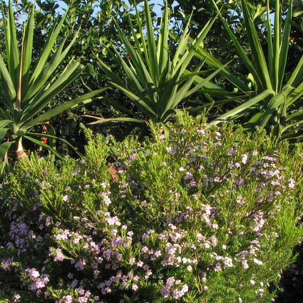 For a smaller version, try Coleonema pulchrum, a dwarf version that grows just two to three feet tall and wide; a loading=