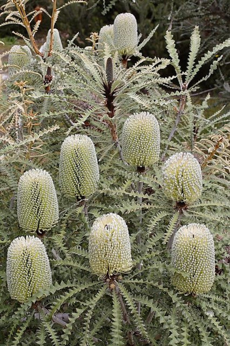 One of my favorite: Banksia speciosa, a dense, rounded, large shrub or moderately-sized tree that can grow to \1\2 to \20 feet tall. It&#8\2\17;s Latin name speciosa says it all: showy and beautiful. Huge and wonderfully strange cone-like creamy yellow flowers appear in the summer and fall. Plant in full sun and hardy to \20 to \25 degrees F. MagicSeedAustralia on Etsy sells 5 Banksia speciosa Seeds for \$9.45.