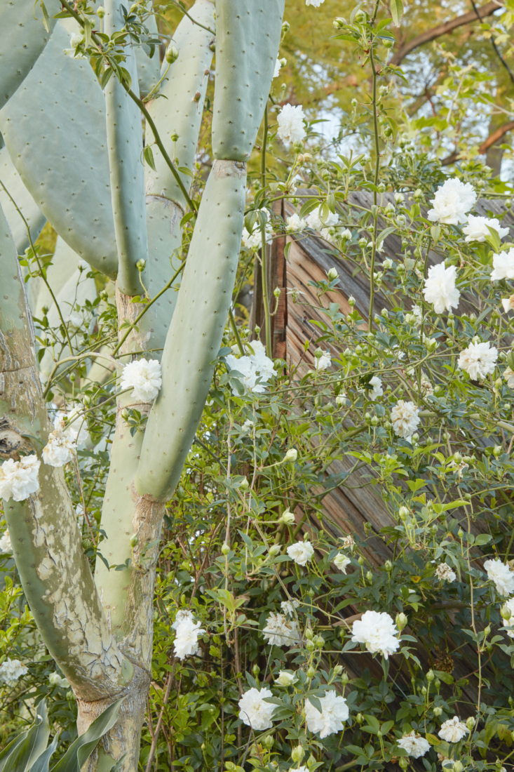 A study in contrasts: delicate white roses intertwined among an Optuntia ficus-indica &#8