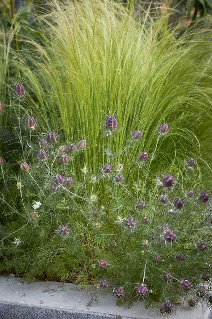 Nigella seedheads dance in front of Mexican feather grass.