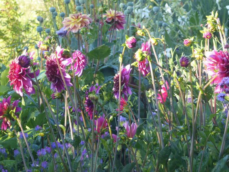 Dahlias need to be deadheaded every week to keep flowers coming