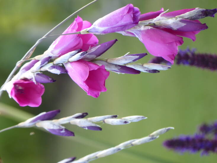 Leave plants with interesting seedheads such as this dierama to set seed.