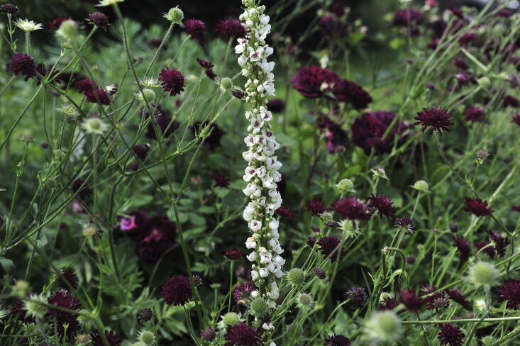 Verbascum chaixii Album may rebloom if it&#8\2\17;s cut back promptly after flowering.