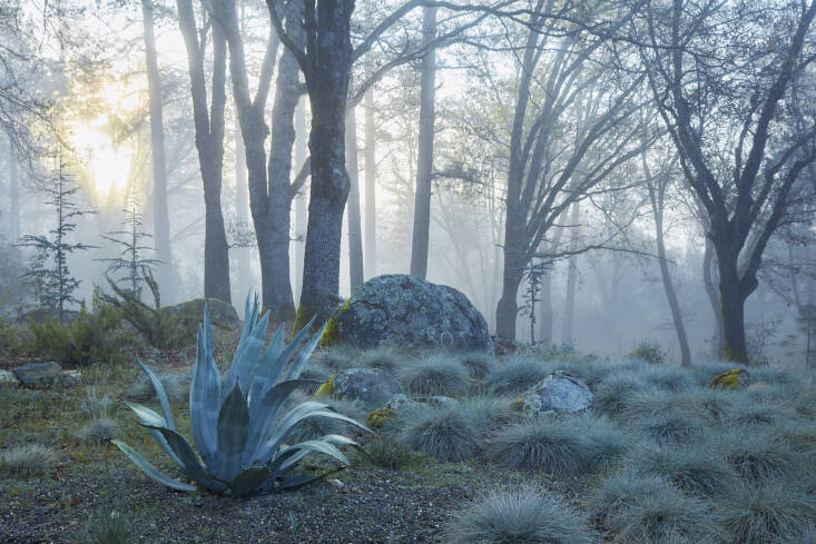 A cool-toned field of Festuca &#8\2\16;Siskiyou Blue&#8\2\17; and &#8\2\16;Elijah Blue&#8\2\17; bow to the bold Agave americana.