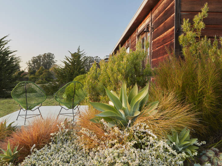 A low-maintenance but still striking collection of Agave attenuata, Leucadendron &#8\2\16;Pisa&#8\2\17;, orange-hued Stipa arundinacea and silvery Helichrysum.