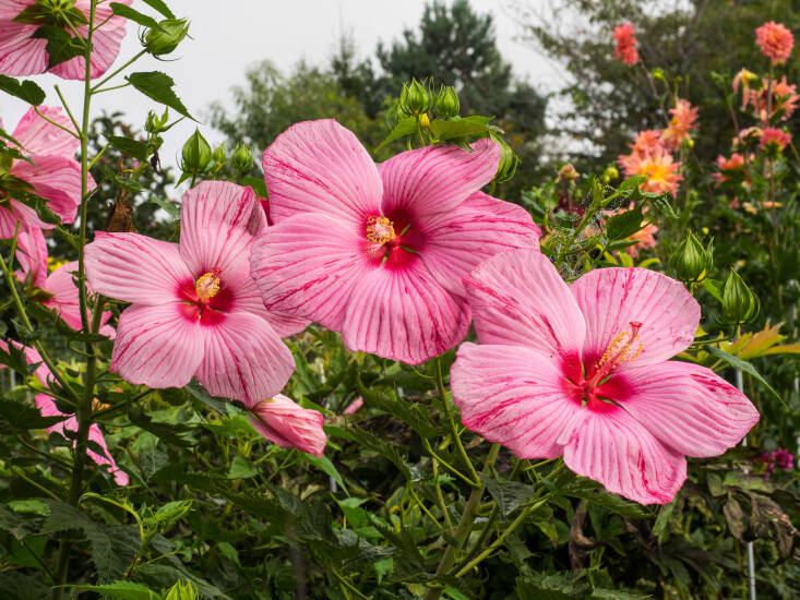 Hardy Hibiscus &#8\2\16;Peppermint Schnapps.&#8\2\17; Photograph by F.D. Richards via Flickr.
