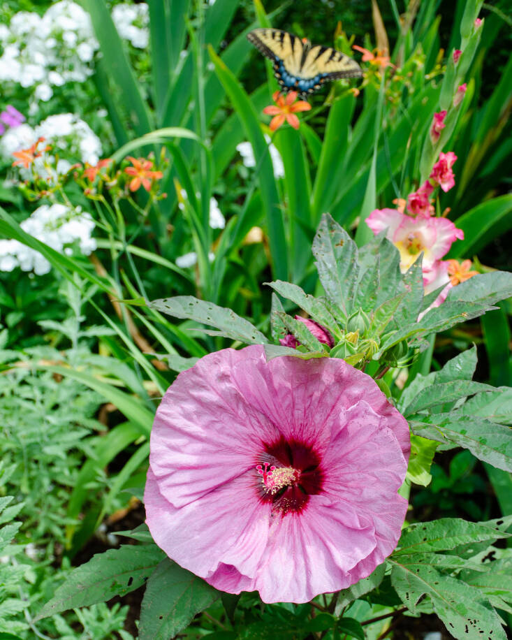 Another favorite: Hardy Hibiscus &#8\2\16;Summerific Berry Awesome&#8\2\17; with dinner-plate-size blooms. Photograph by Mark Levisay via Flickr.