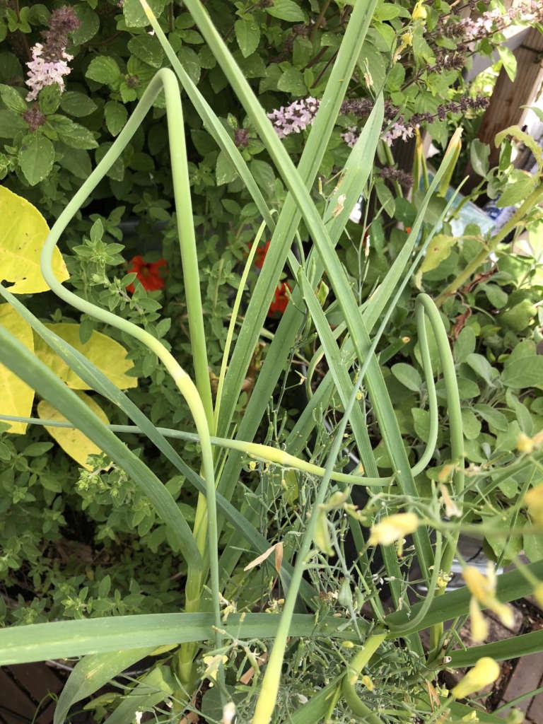 Graceful organic garlic scapes