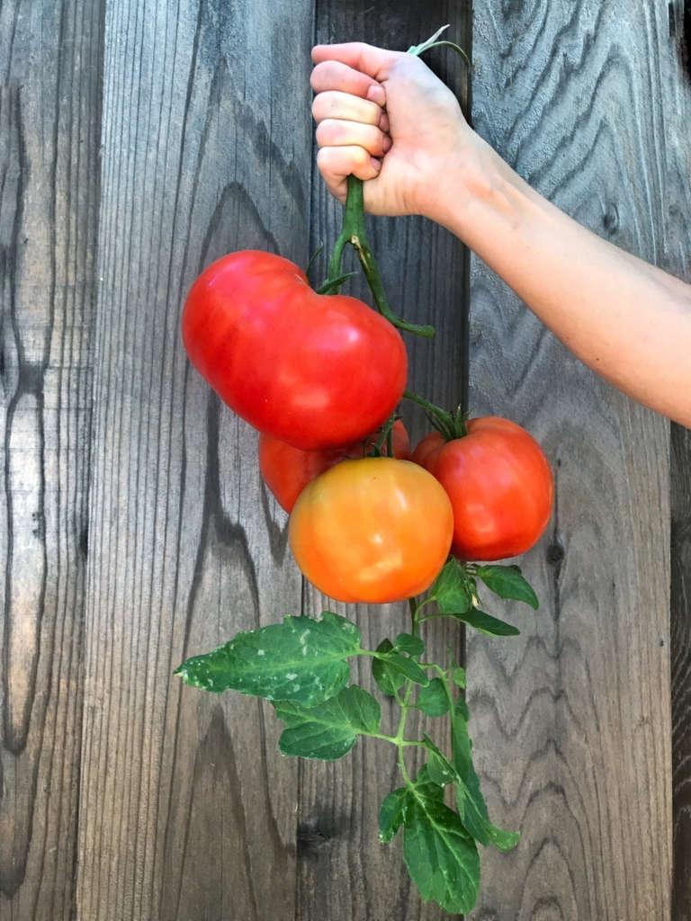Giant tomatoes