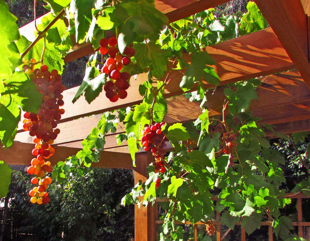 Two Types of Table Grapes Grow on the Pergola