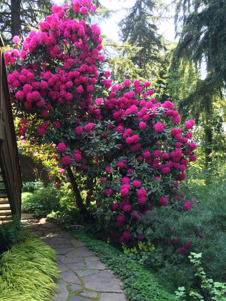 May brings blooming Rhododendrons.
