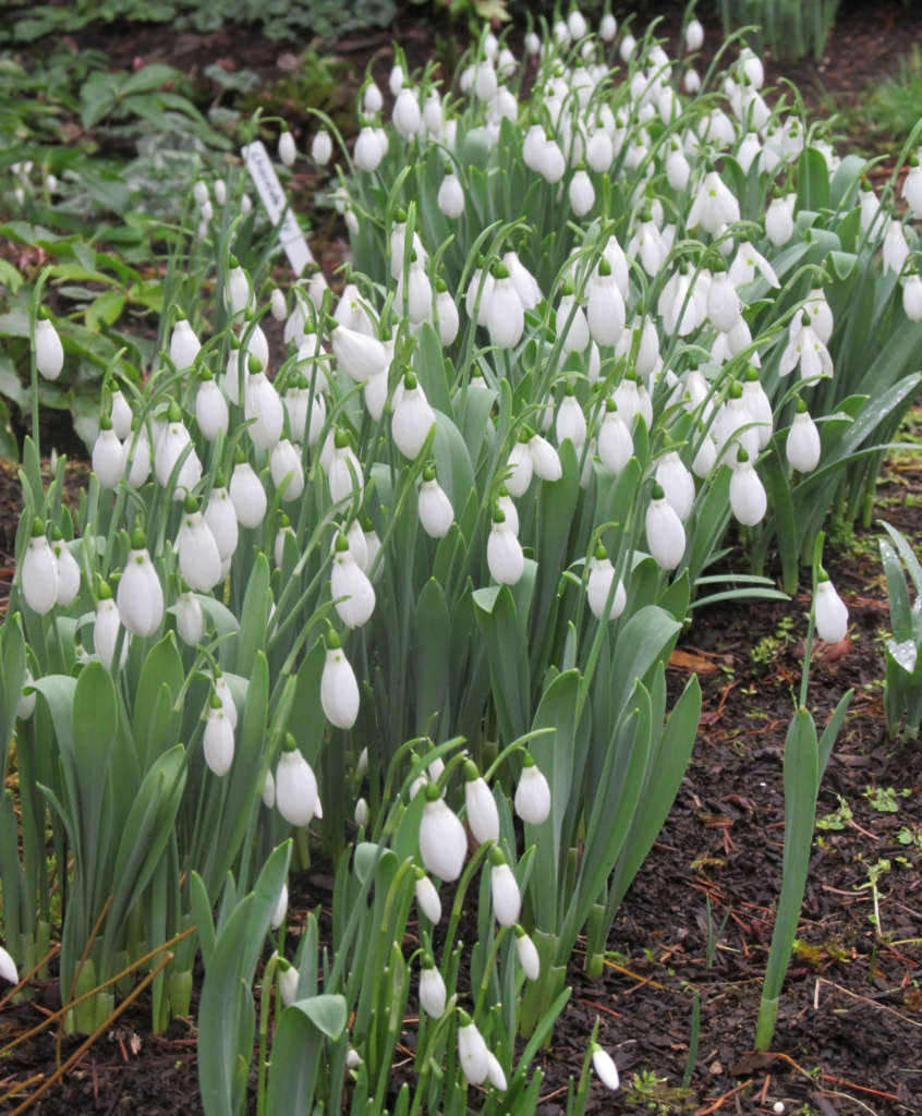 Snowdrops brighten the garden in winter and early spring.