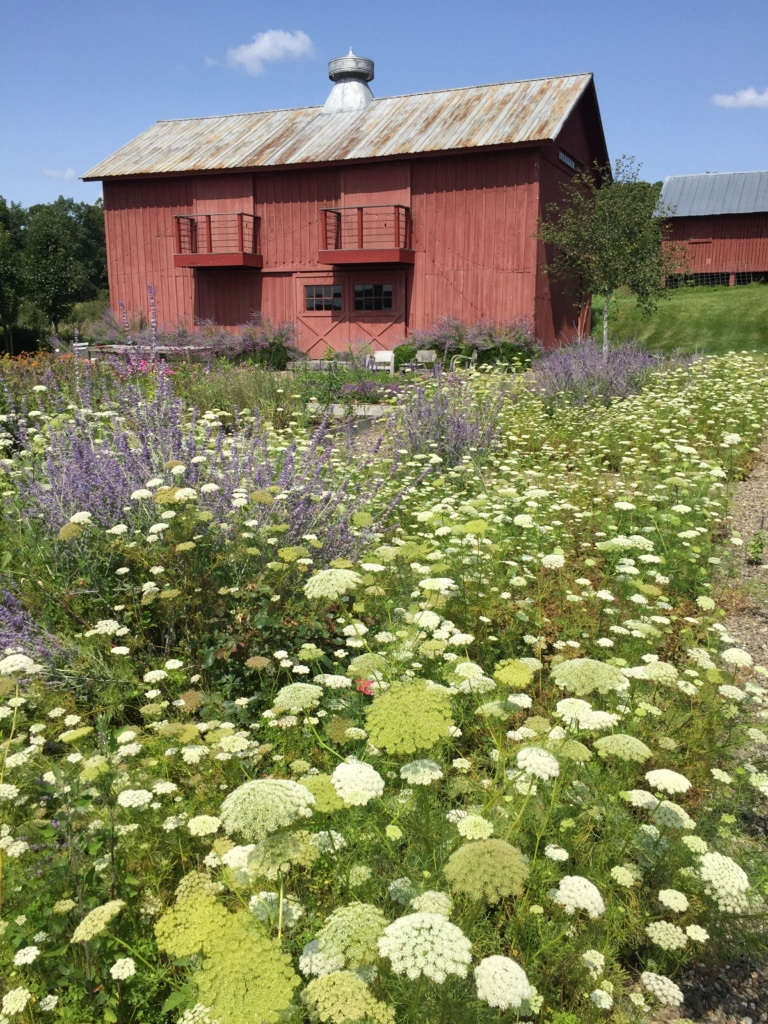 A profusion of Ammi and Russian Sage in mid-summer.