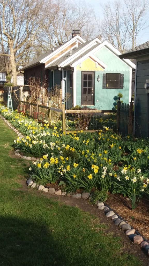 Daffodils!