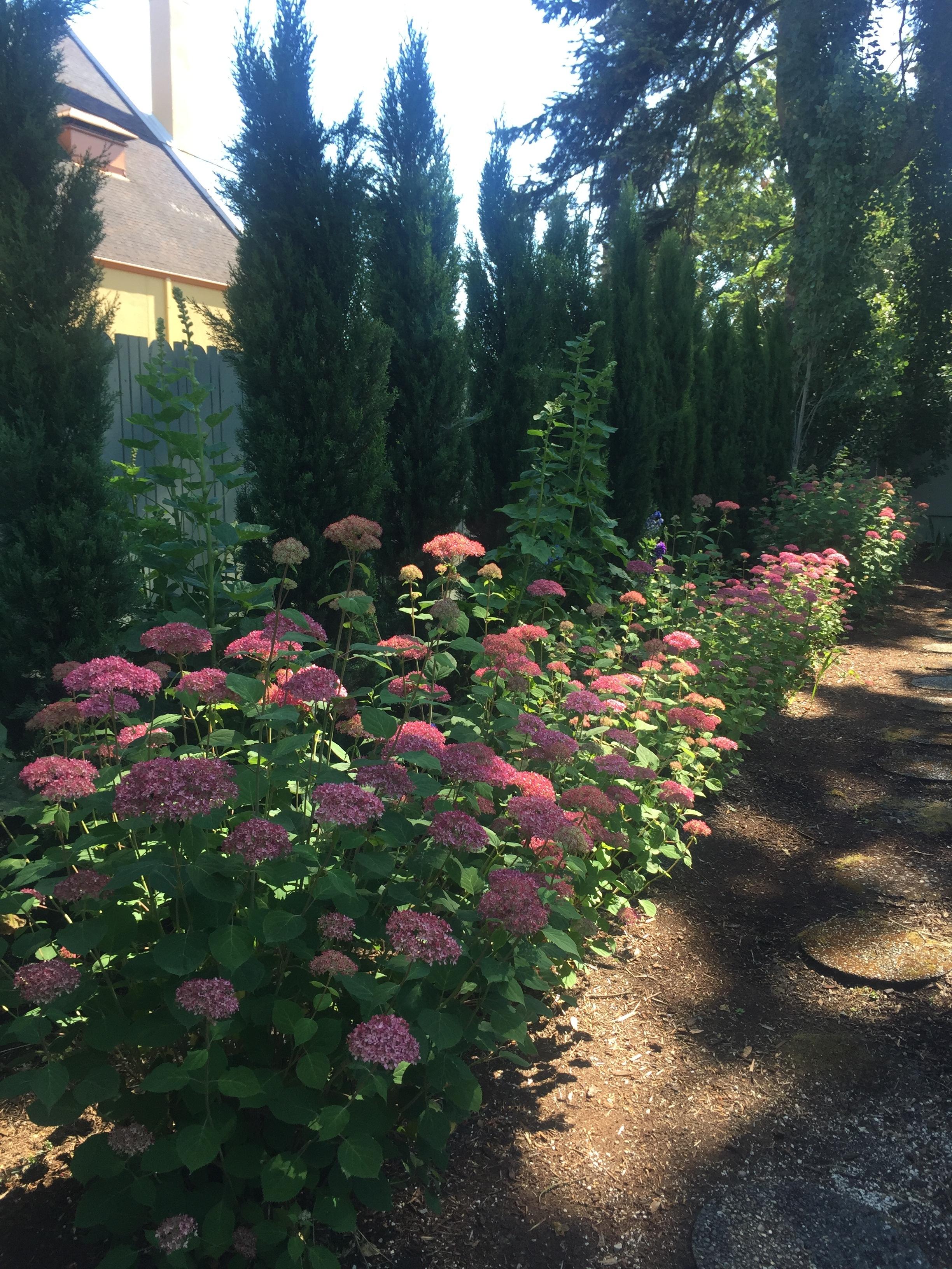 Hydrangeas and Hollyhocks