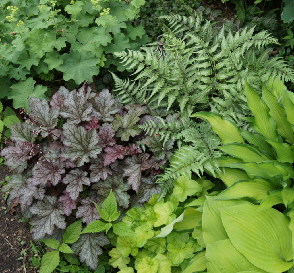 Ferns and Heucheras