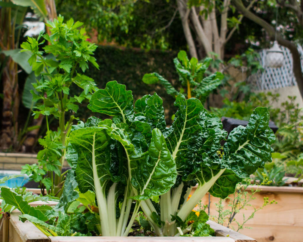 Tender Leaf Chard and Peppermint Celery