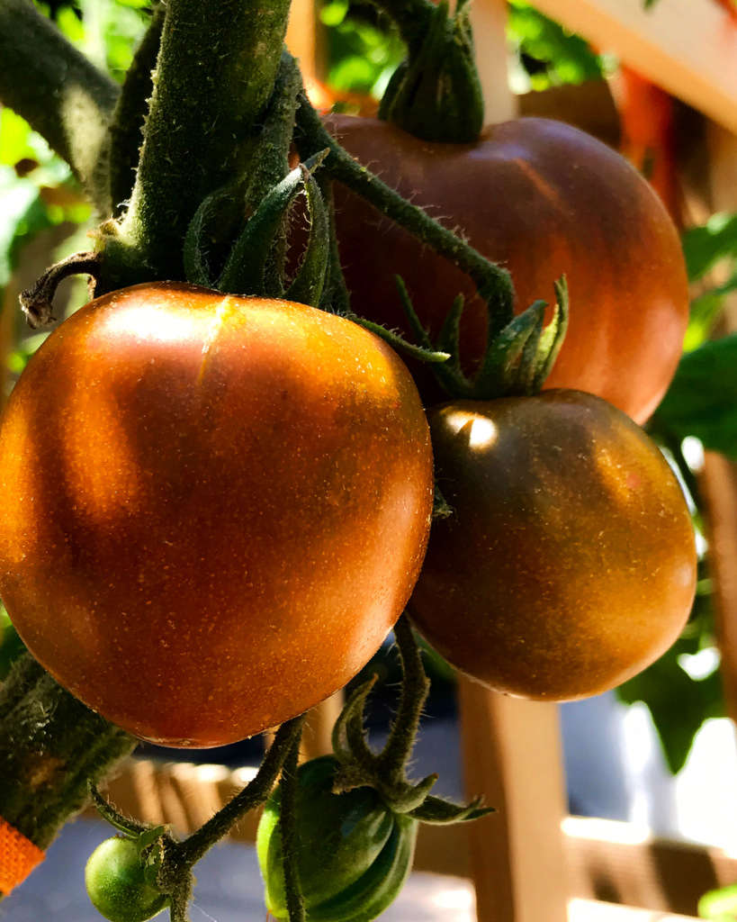 Tomatoes - The Holy Grail for Gardeners