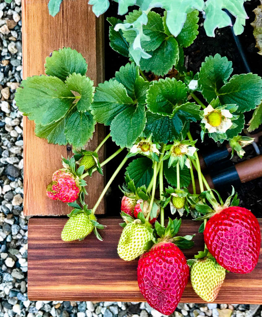 Cascade Strawberries at the Edges