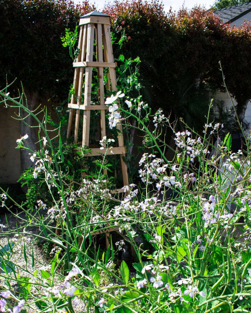 The Obelisk and the Amazing Rat Tail Radish