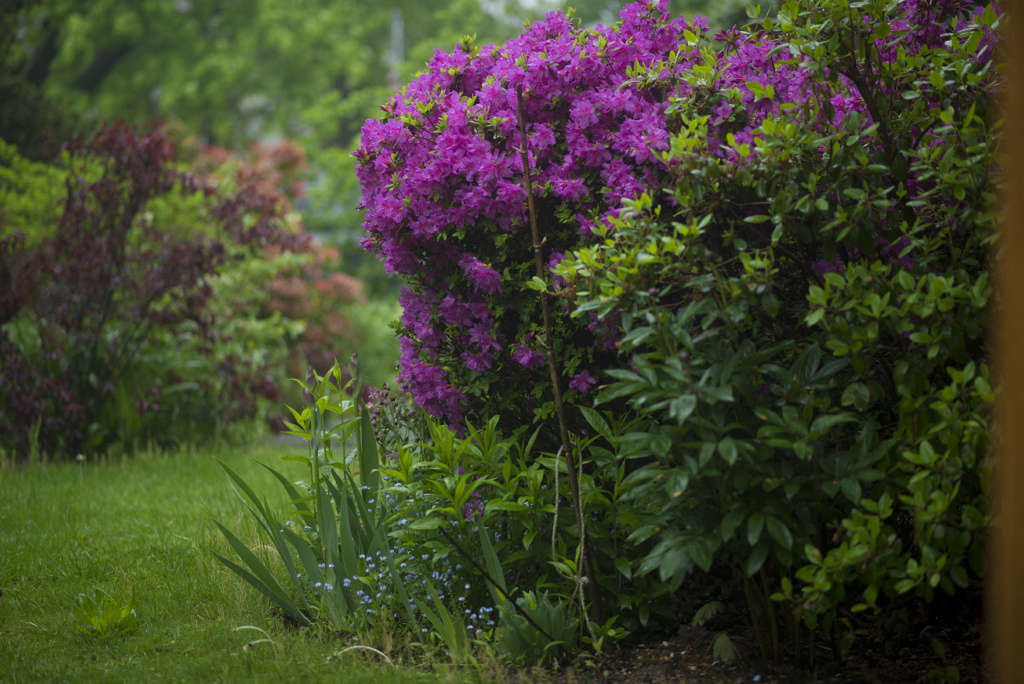 The front beds are overflowing with woody azaleas and perennials.