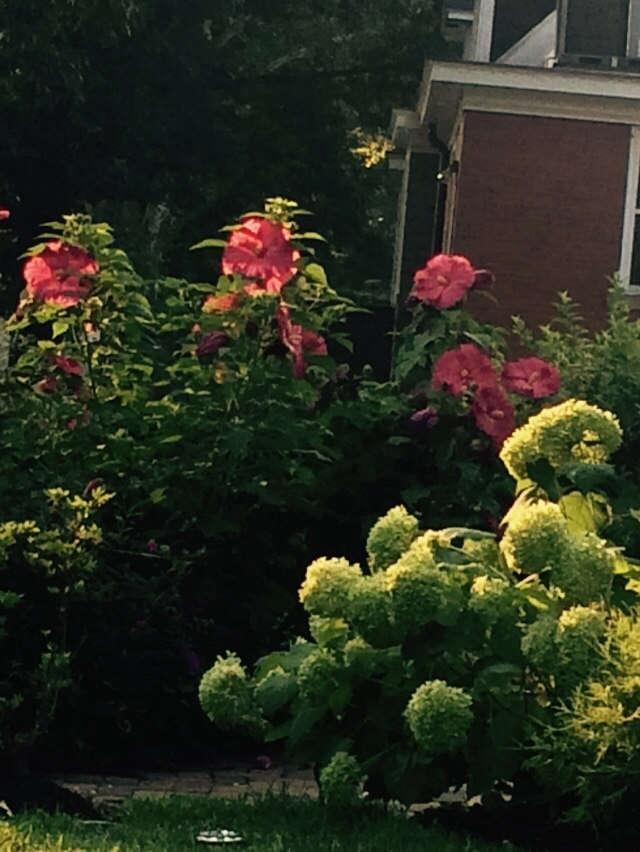 Hibiscus and Annabelle Hydrangeas