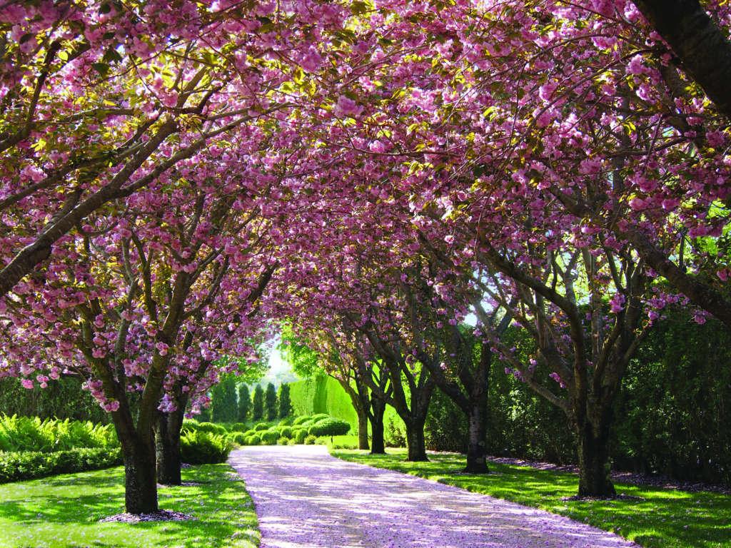 Cherry Tree Allee