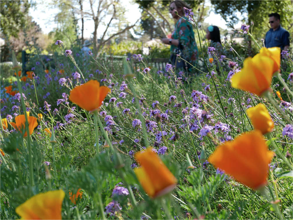 Classic California poppies paired with Verbena