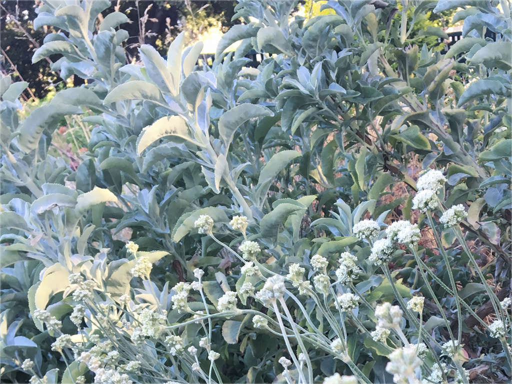 Use of Silver for Sparkle and for Evening Garden Experiences
