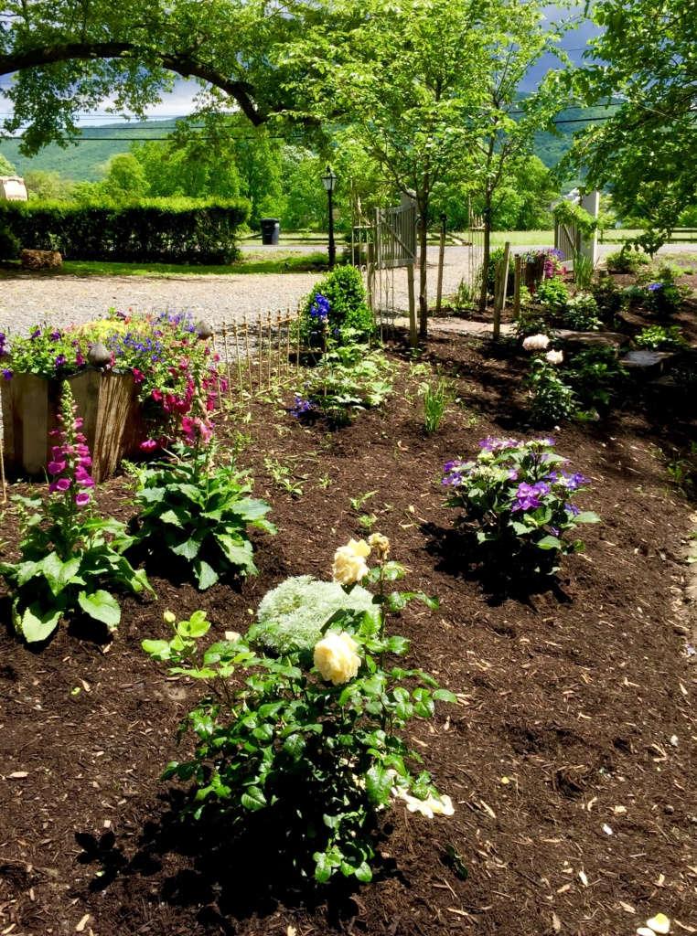 A cottage rose garden