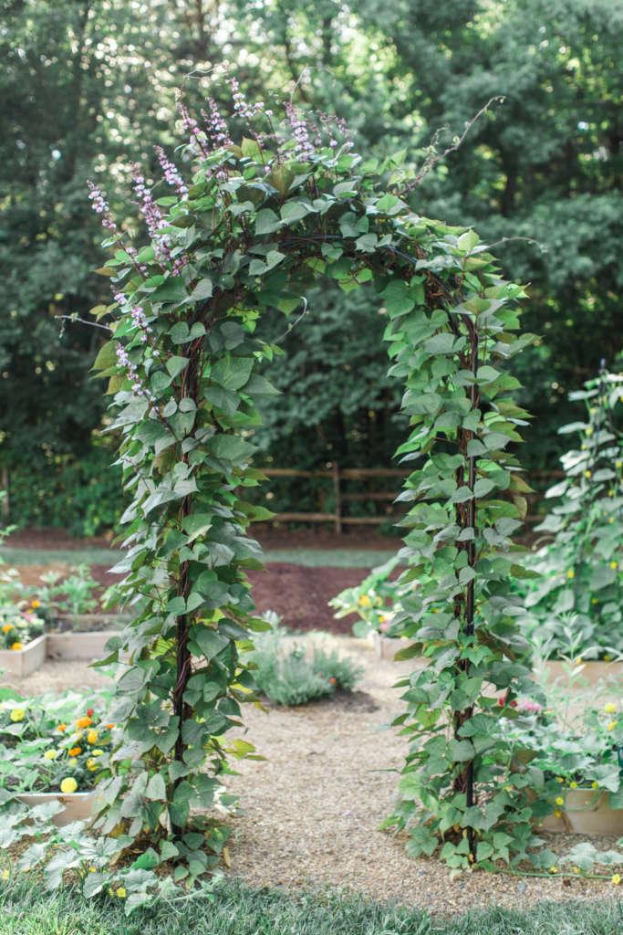 Hyacinth Bean Arbor