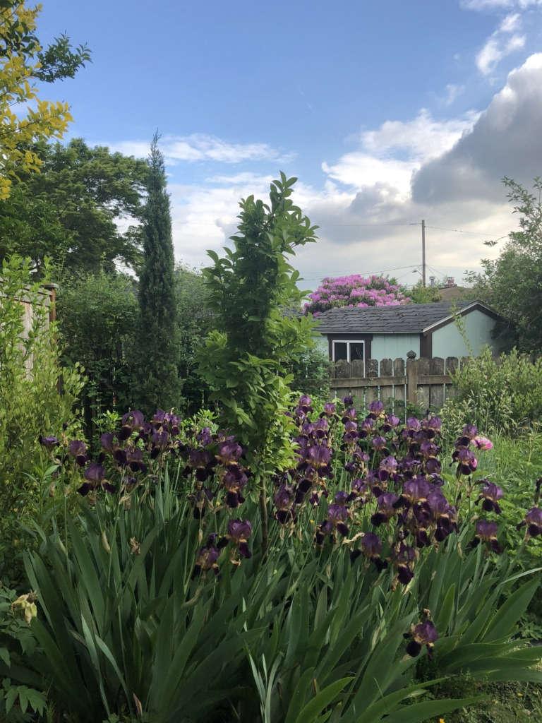 Irises taking over
