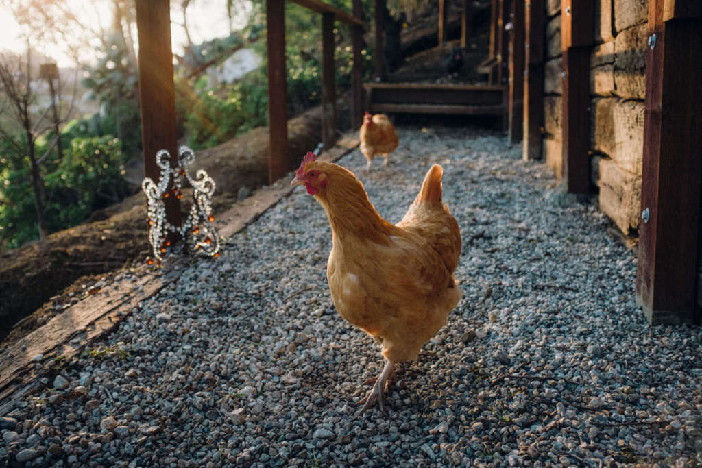 Chickens roam the property.