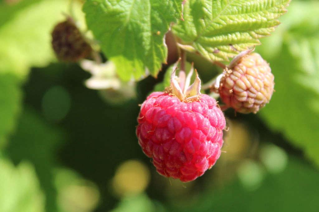 rambling raspberries