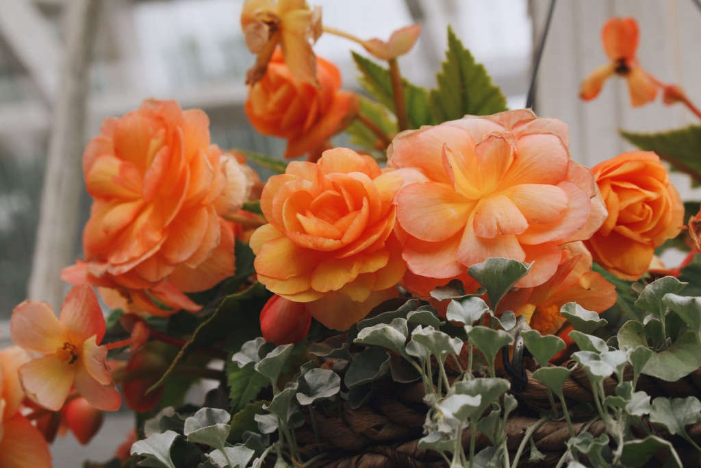 Begonias in a Basket